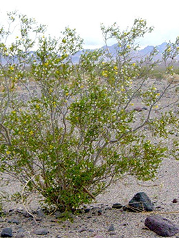 Compounds from the creosote bush may fight two deadly parasitic infections.